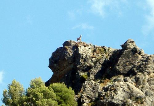 17 Cabra en el monte desde el Pantano de Quentar.jpg by you.
